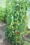 Tomato plants and fruits in green house stock photos