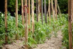 Tomato plants in a garden Stock Photos