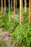 Tomato plants in a garden Royalty Free Stock Image