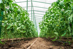 Tomato plants in green house Royalty Free Stock Images
