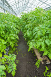 Tomato plants in the greenhouse Royalty Free Stock Photography
