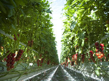 Tomato plants in greenhouse Stock Photography