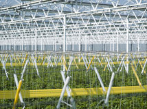 Tomato plants in greenhouse Royalty Free Stock Photography