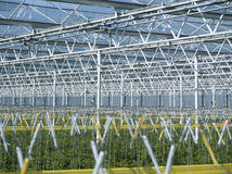 Tomato plants in greenhouse Royalty Free Stock Image
