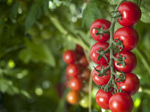 Tomato plants in greenhouse Stock Images