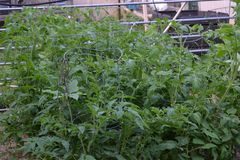 Tomato plants growing the garden in the Spring royalty free stock photo