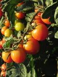 Tomato plants growing in the garden . Tomatoes ripen gradually . Tuscany, Italy Stock Image