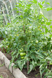 Tomato plants growing in home veggie plot Stock Photo