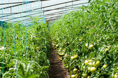 Tomato plants growing inside a greenhouse Royalty Free Stock Photos