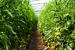 Tomato plants growing inside a greenhouse Stock Photo