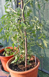 Tomato  plants grown on a vegetable garden in a balcony Royalty Free Stock Images
