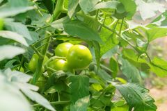 Tomato Plants In Greenhouse. Green Tomatoes Organic Farming. Stock Photography