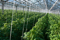 Tomato plants. A shot of tomato plants growing inside a greenhouse Stock Photo