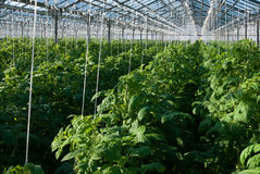 Tomato plants. A shot of tomato plants growing inside a greenhouse Stock Photos