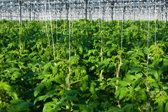 Tomato plants Stock Image