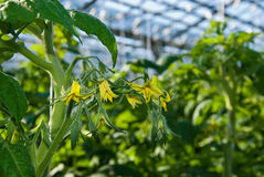 Tomato plants Royalty Free Stock Photography