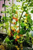 Tomato plants in a small greenhouse Stock Image