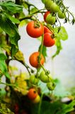 Tomato plants in a small greenhouse Royalty Free Stock Photo