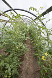 Tomato plants in a small greenhouse Royalty Free Stock Photography