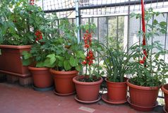TOMATO plants on the terrace of the apartment in the city Stock Image