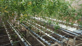 Tomato plants in water tanks with tubes royalty free stock photo