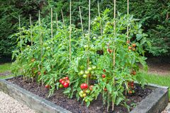 Free Tomato Plants With Ripe Tomatoes Growing Outdoors In England UK Stock Photos - 207831513