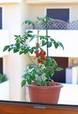 Tomato pot on the windowsill of a house Stock Photo