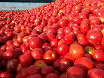Tomato processing Stock Image