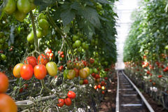 Tomato production. In the greenhouse Royalty Free Stock Image