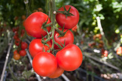 Tomato production. In the greenhouse Stock Photography
