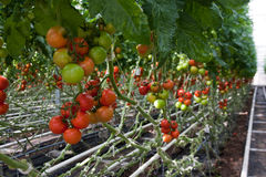 Tomato production. Greenhouse tomato production for market Royalty Free Stock Images