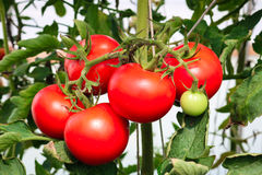 Tomato. Red tomato grown in greenhouse Royalty Free Stock Image