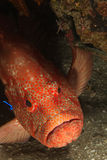 Tomato rockcod. A close up on a rockcod in a general reef scene, KwaZulu Natal, South Africa Royalty Free Stock Images