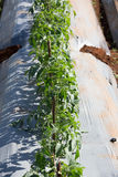 Tomato row Stock Photo