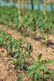 Tomato rows in a greenhouse Royalty Free Stock Images