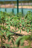 Tomato rows in a greenhouse Stock Photos