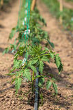 Tomato rows in a greenhouse Royalty Free Stock Photography