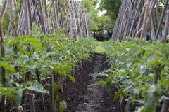 Tomato rows Stock Image