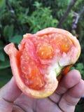 Tomato`s flesh Stock Photography