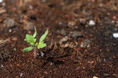 Sapling of tomato grows up from the ground stock photography