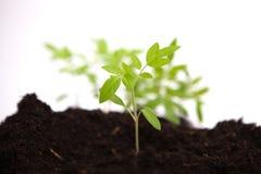 Tomato sapling in potting soil on white background Stock Images