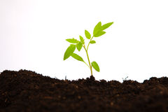 Tomato sapling in soil ground with white background Stock Photos