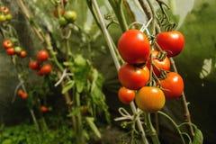 Tomato season. Fresh ripening tomato on bush Stock Photo