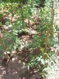 Tomato seeding plants in garden bed stock image