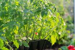 Tomato seedings in the spesial cells. Before planting in the ground Royalty Free Stock Image