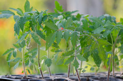 Tomato seedings in the spesial cells. Before planting in the ground Royalty Free Stock Photos