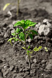 Tomato seedling Royalty Free Stock Photo