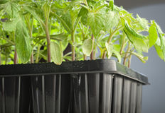 Tomato seedling. Pot in greenhouse Stock Photo