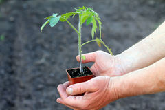 Tomato seedling in brown container in palms of hands. Close up. Stock Photos
