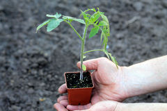 Tomato seedling in brown container in palms of hands. Top view. Stock Photography